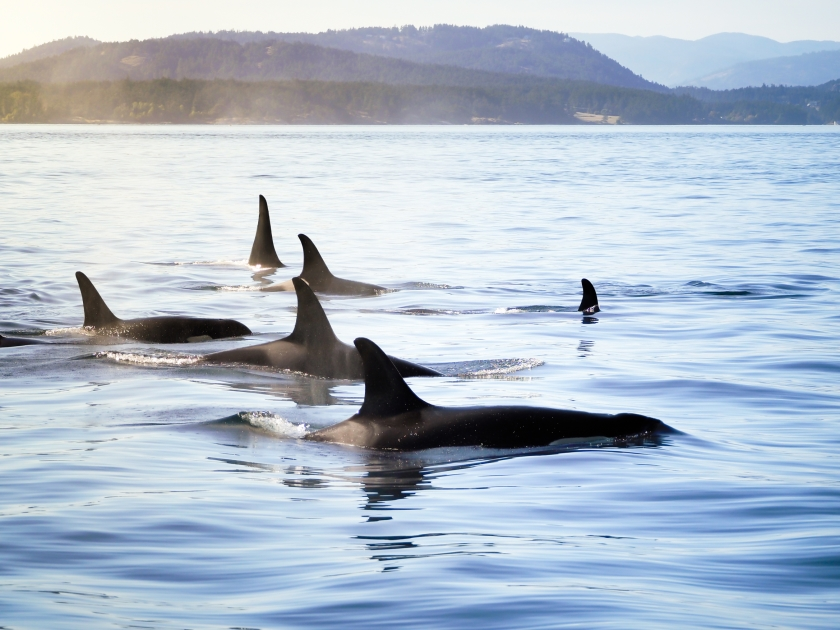 Killer whales in waters of the coast of British Columbia