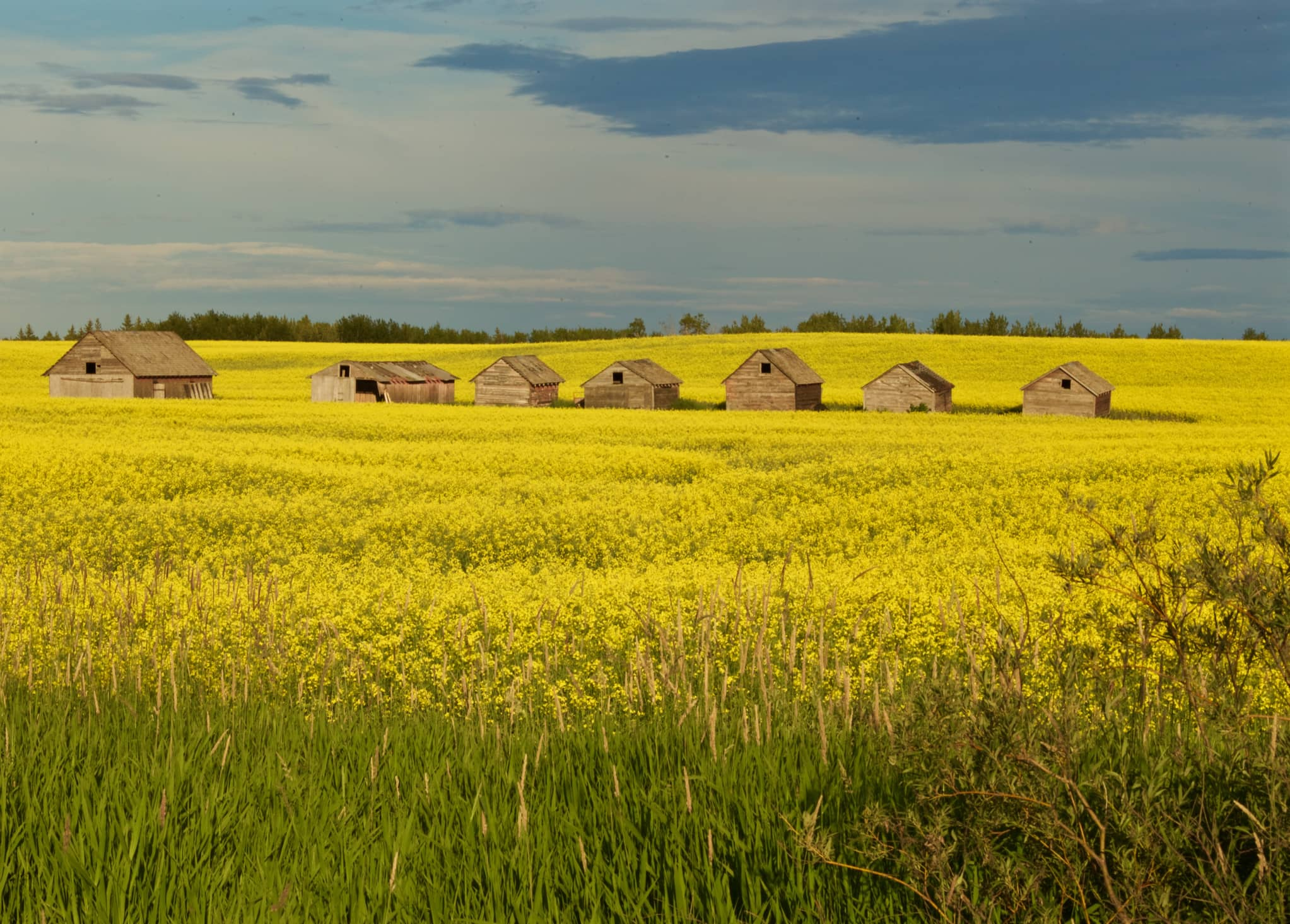 Old sheds at Canola Field, Alberta, Canada